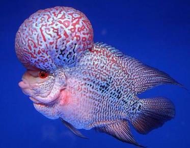 彩虹金花罗汉鱼外形如何?如何分辨?
