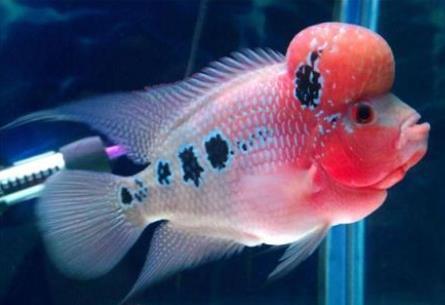 太阳金花罗汉鱼外形什么特征?