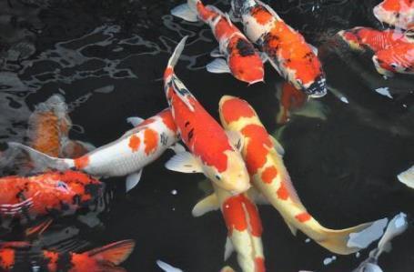 藻类鱼食对锦鲤发色有帮助吗?吃什么牌子鱼食好?