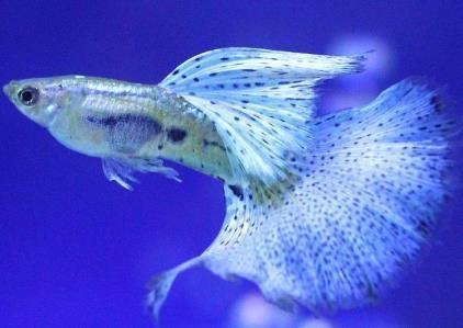 孔雀鱼仔多久能分辨公母?