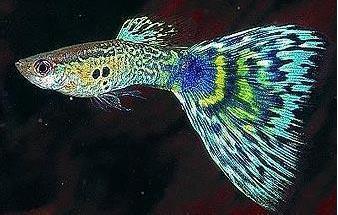 孔雀鱼全身发黑原因是什么?