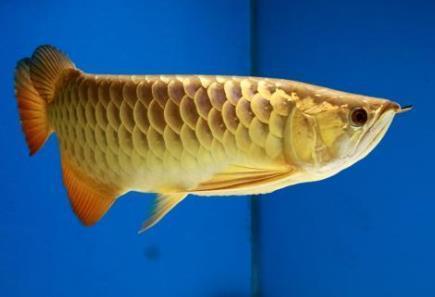 金龙鱼怎么分类?高背龙鱼价格贵吗?