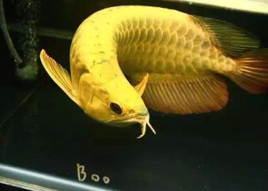 金头金龙鱼价格昂贵吗?