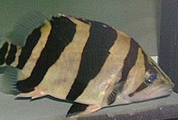 为什么大多鱼友选择印尼虎鱼苗?