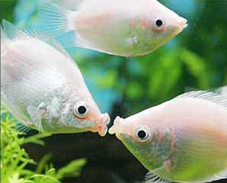接吻鱼接吻是因为爱情吗?
