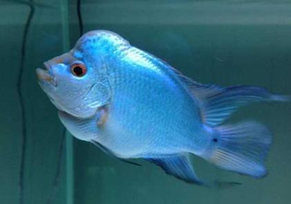 满银罗汉鱼产地哪里?