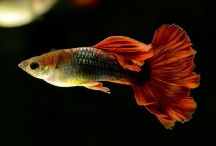 孔雀鱼身上长白色东西是什么?
