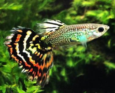 孔雀鱼怎么选择好?水质和温度要求如何?