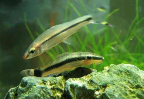 小精灵鱼繁殖方法是什么?