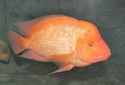红魔鬼鱼有哪些生活习性?