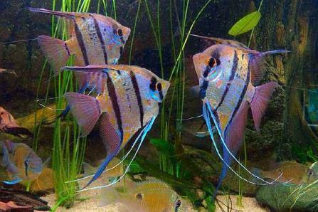 神仙鱼有什么生活习性?