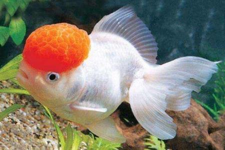 鹅头红金鱼价格多少钱?