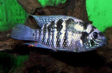 黑宝石鱼繁殖特点是什么