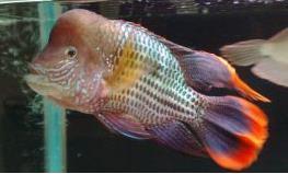 红尾皇冠鱼如何繁殖?