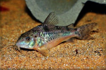 花椒鼠鱼如何繁殖?