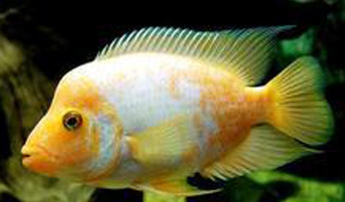 火鹤鱼怎么繁殖?