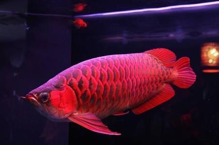 血红龙鱼价格多少钱一条?