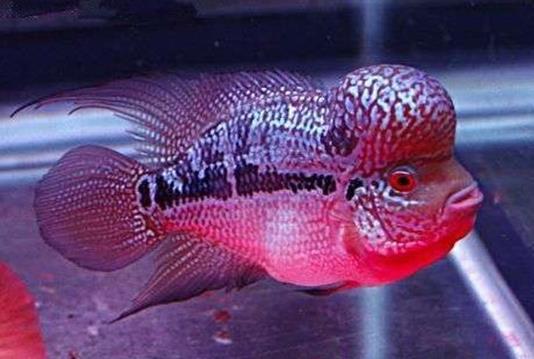 帝王马骝罗汉鱼外形特点是什么