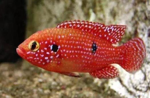 红钻石鱼怎么繁殖?