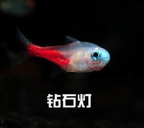 钻石灯鱼和红绿灯鱼怎么区分?