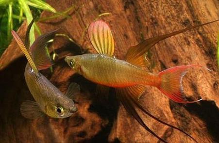 燕子美人鱼分布哪些范围?