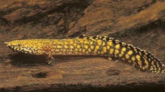 大花恐龙可以长多大?吃什么饵料?