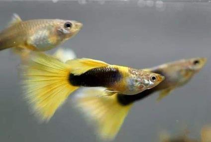 黄礼服孔雀鱼多久性成熟?繁殖能力如何?