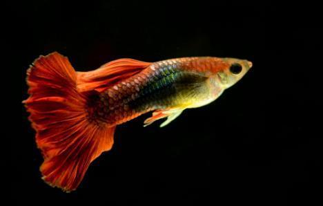 孔雀鱼繁殖临产征兆有哪些?