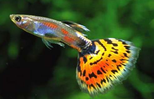 孔雀鱼不繁殖究竟哪些原因