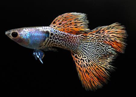 如何分辨孔雀鱼是否怀孕?