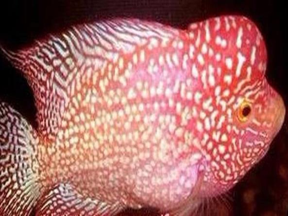 黄金德萨斯罗汉鱼是怎么产生的?