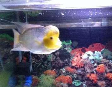 黄色罗汉鱼包括哪些?
