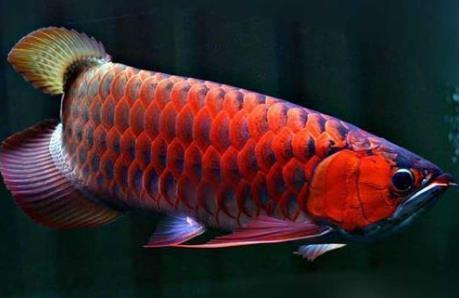 红龙鱼兜嘴原因是什么?