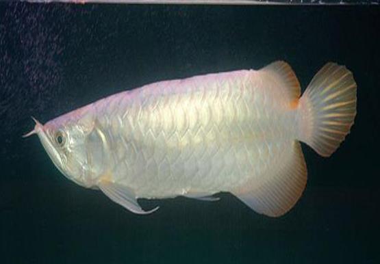 黄尾龙鱼由超级红和青龙鱼交配产生吗?