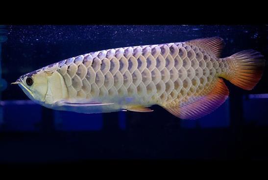 金龙鱼有哪些品种?