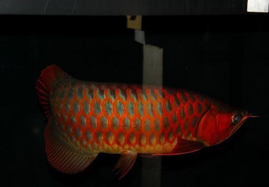 植物灯对龙鱼有什么帮助?
