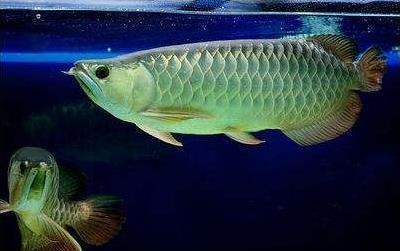 为什么要了解龙鱼的习性?