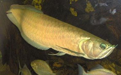 龙鱼腹水病有什么症状?