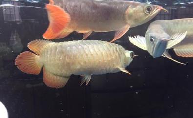 龙鱼翻鳃病因是什么?