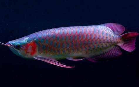 龙鱼体外寄生虫怎么治疗?