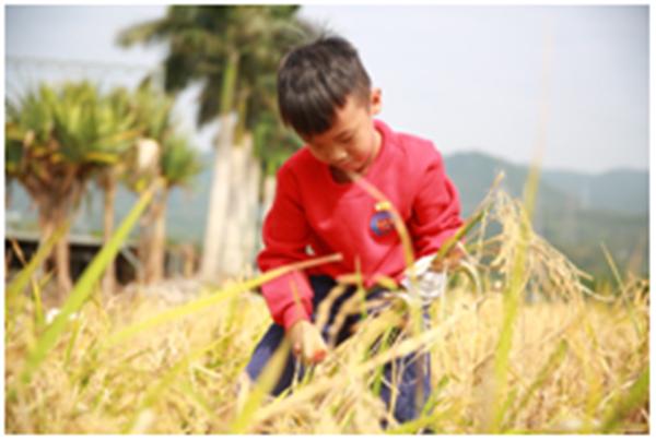 农耕体验割稻谷