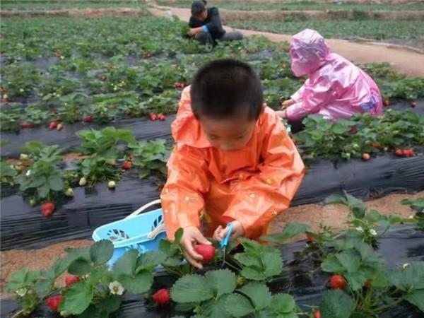 草莓采摘园
