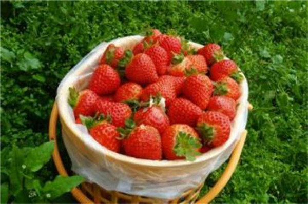 深圳草莓采摘-草莓采摘价格-草莓采摘季节