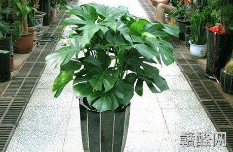 什么植物清除甲醛效果好?