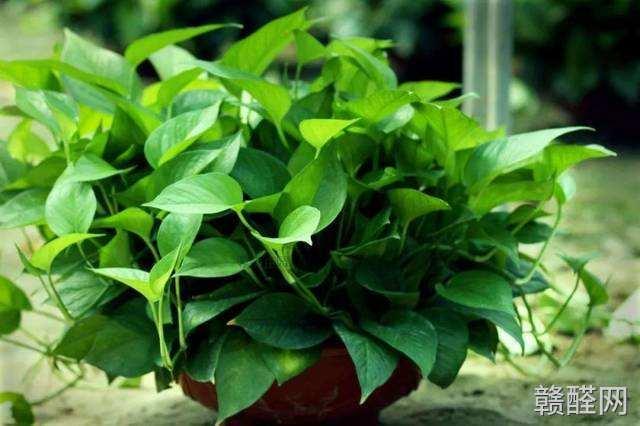 如何让绿萝除甲醛效果更好?