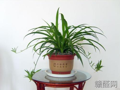 新房装修除甲醛哪样植物好?