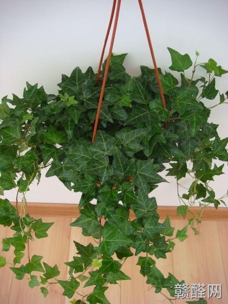 除甲醛植物有哪些?除甲醛植物名单大收录