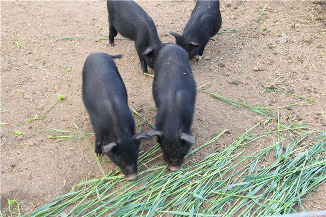 养殖藏香猪喂养什么?藏香猪如何喂养好呢?