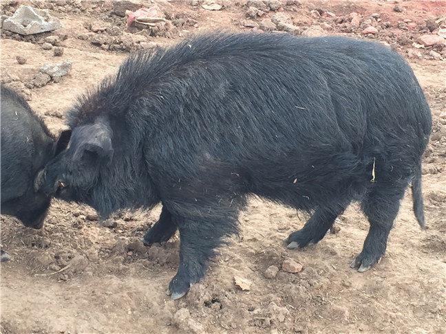 纯种藏香猪特征有哪些?哪些是藏香猪主要特征?
