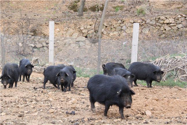 生态养殖藏香猪怎么养?